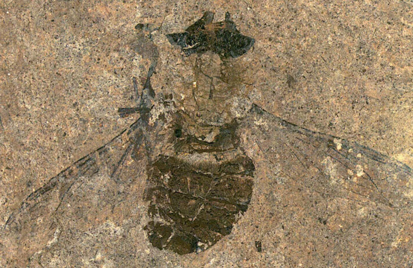 Flies 47 million years ago are already eating and transporting pollen