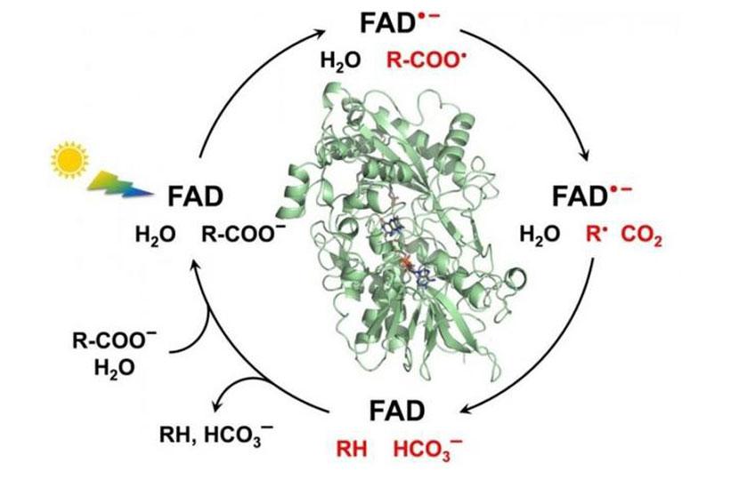 acid photodecarboxylase